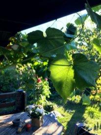 Übers Jahr hat sich unsere Laube zur Weinlaube gemausert. Der Rebstock ist völlig unkompliziert und schiebt nahezu ohne Wasser jeden Tag meterlange Triebe nach