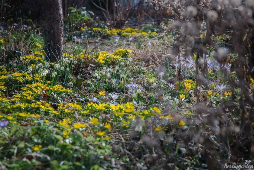Winterlinge sind gelb blühende Frühlingsblüher