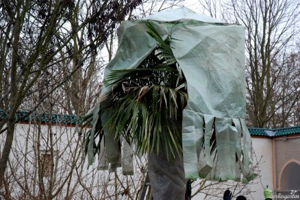 Ein Winterschutz für die Palmwedel ist nötig