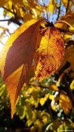 Zierkirsche Kanzan erfreut mit schönem Herbstlaub