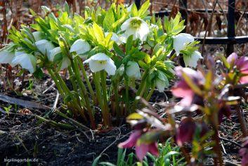 Helleborus alba plena und atrorubens