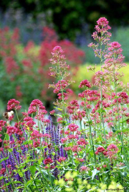 berlingarten_Himbeerrosa Spornblume mit Steppensalbei