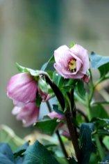 Meine früheste Lenzrose ist 'Pretty Ellen Pink'. Und vielleicht ist sie sogar meine schönste
