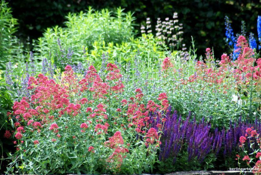 berlingarten_Spornblume mit Salbei, Katzenminze und Herbstastern