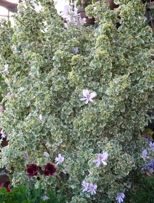 Attraktives Laub und toll zum Aromatisieren: Pelargonium crispum variegatum duftet nach Zitrone