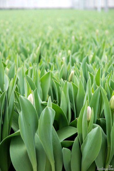 erntereife Tulpen