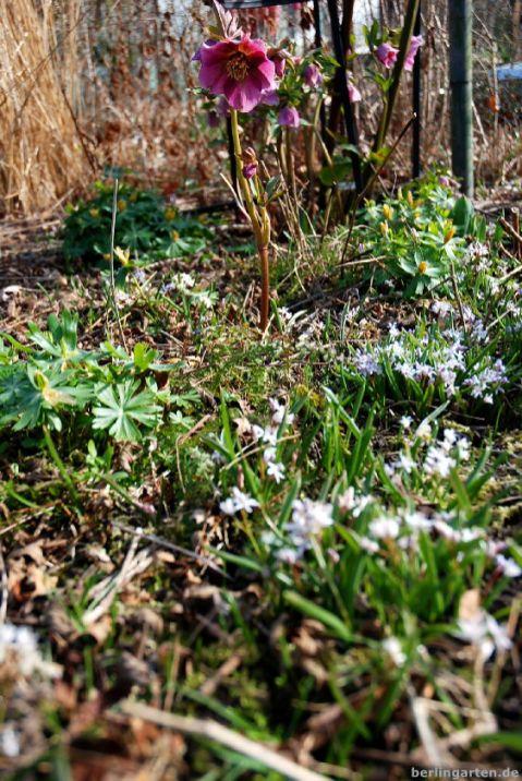 Helleborus atropurpurea und Scilla bifolia Rosea