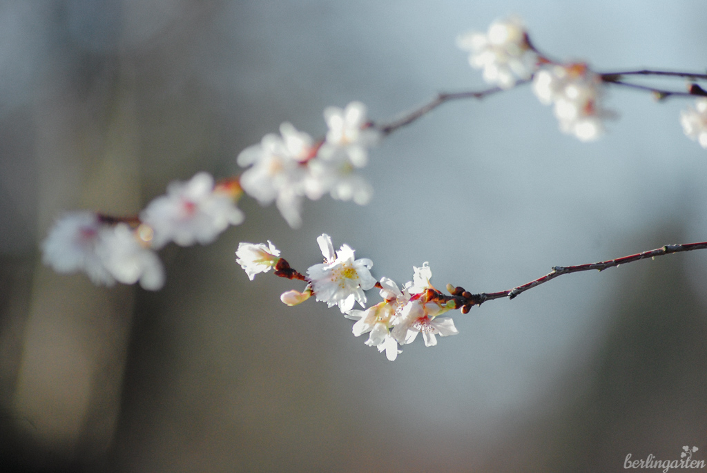 Frühlingszauber in jedem Winter: die japanische Bergkirsche – berlingarten