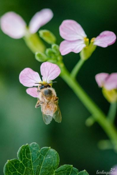 Biene auf Radieschenblüte