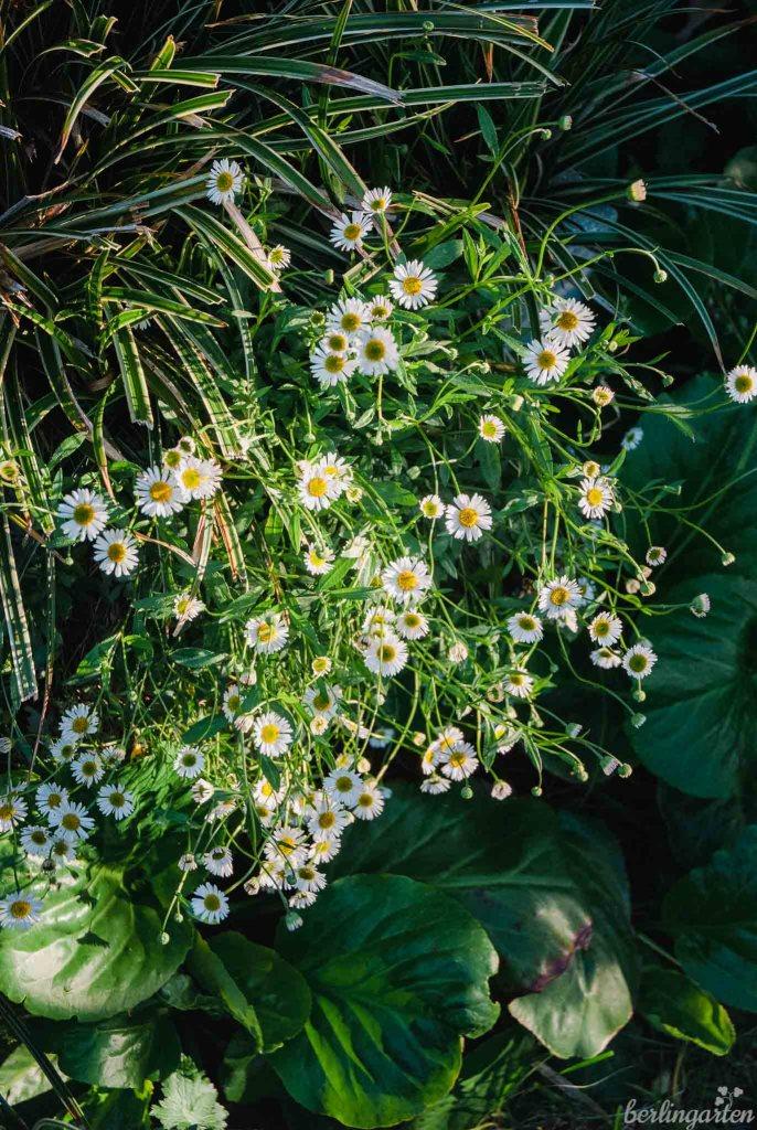 Bergenie und Spanisches Gänseblümchen