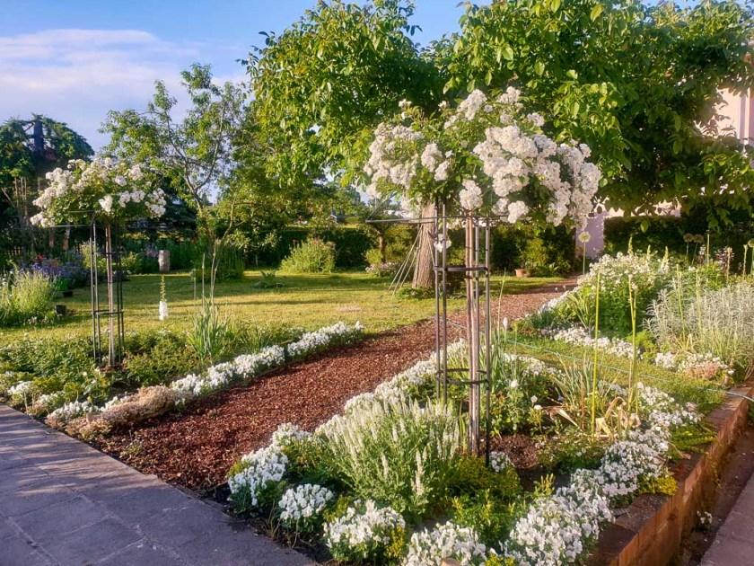 Weißer Garten: Rose 'Guirlande d'Amour' auf Hochstamm