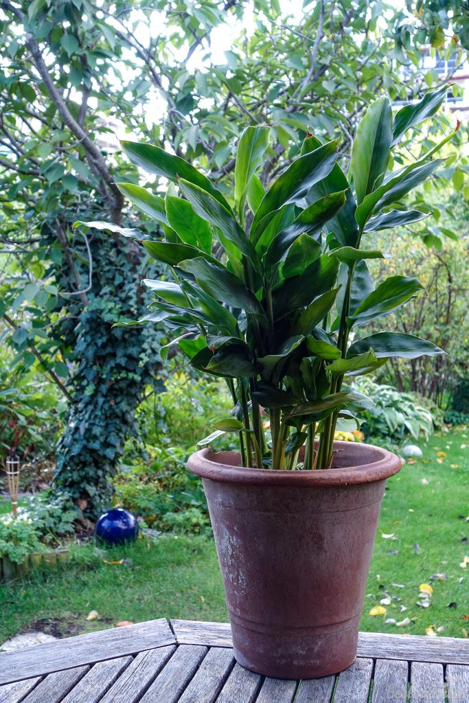 Mein Zimt-Aroma ist mit 40 cm noch klein, kann aber bis zu 150 cm groß werden
