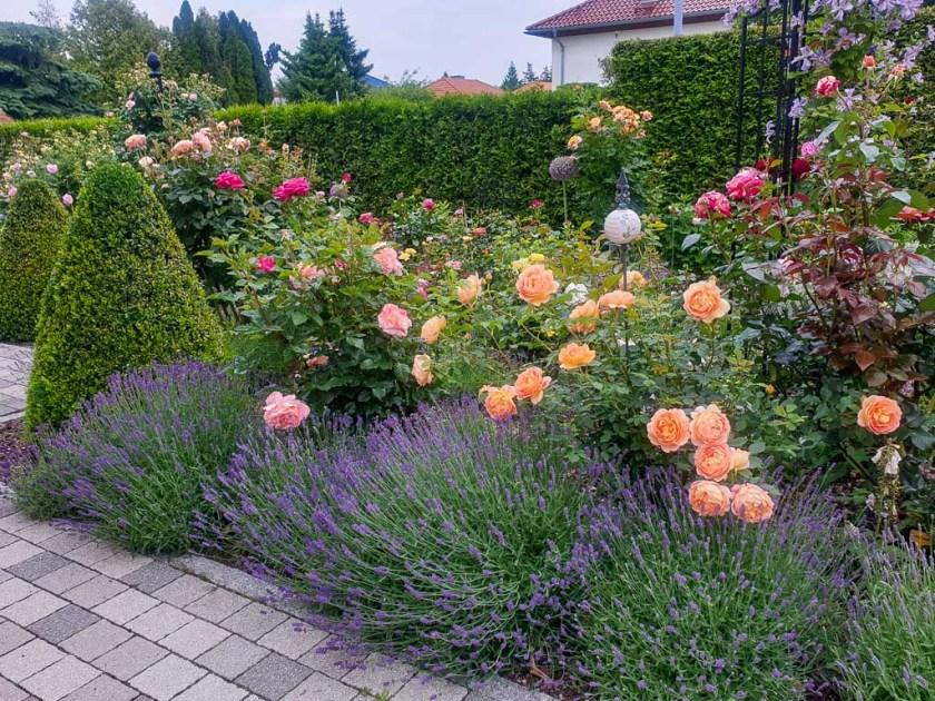 Lavendel und Rosen im formalen Garten