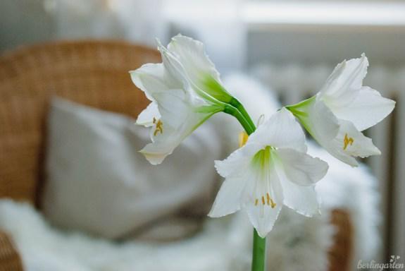Amaryllis aufgeblüht
