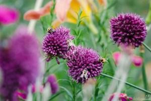 Allium sphaerocephalon: naturhafter Zierlauch im Sommergarten