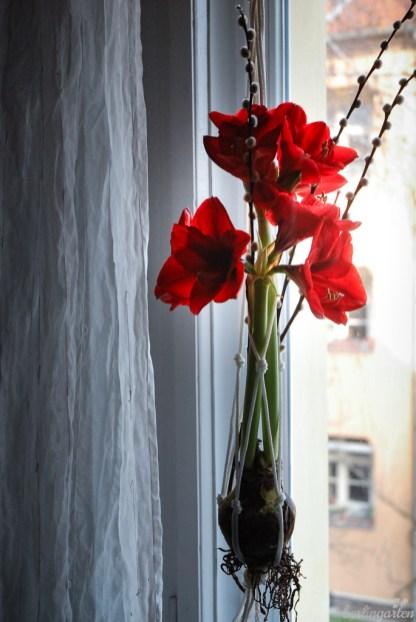 Freude am Fenster: Amaryllis