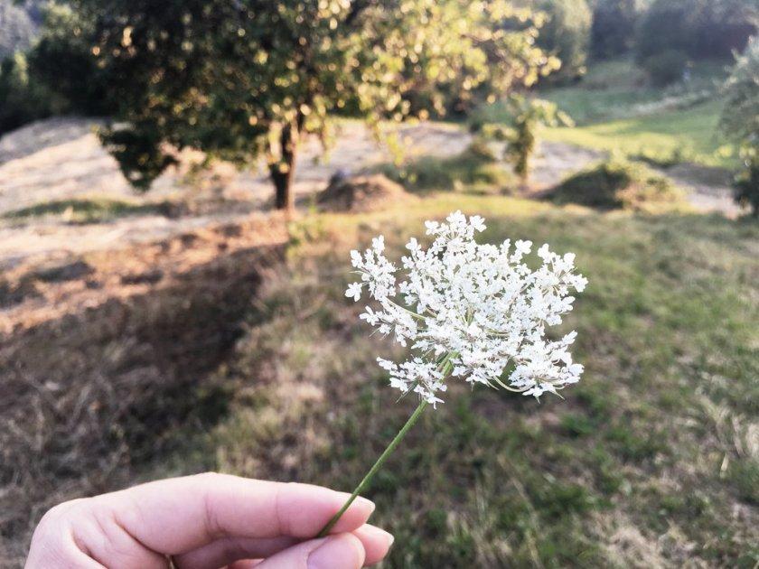 Wilde Möhre als Erinnerung an den Kindheitsgarten