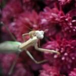 photo of praying mantis on chrysanthemum