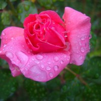 Raindrops on Roses, 2010