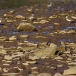 killdeer on rocks in stream