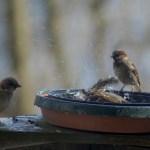 birds in a birdbath