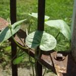 vine wrapped around fence