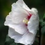 rose of sharon flower