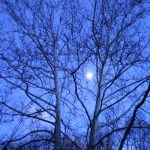 moon and sycamore trees
