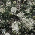 Queen Anne's Lace flowers