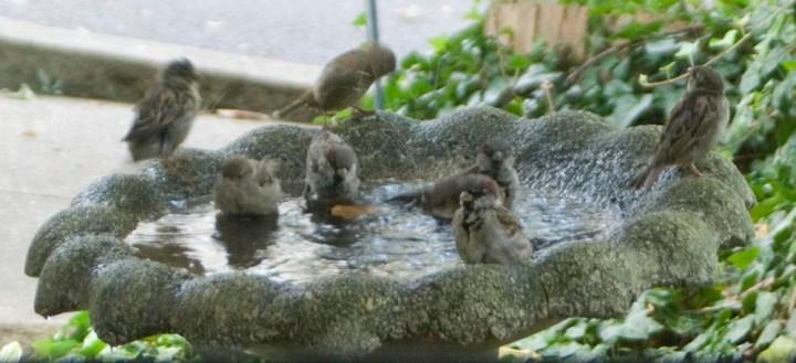 sparrows in bird bath