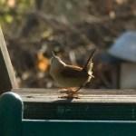 wren on deck railing