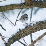 song sparrow on branch with snow.