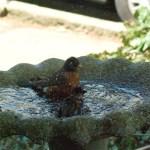 robin and sparrow in bird bath