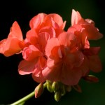 coral geranium