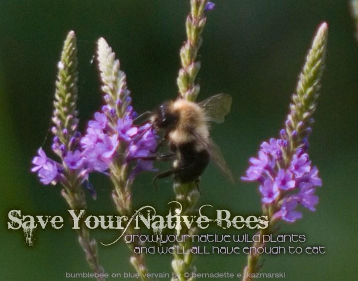bumblebee on vervain by bernadette e. kazmarski