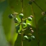 Tiny Grapes