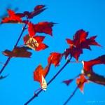 red leaves blue sky