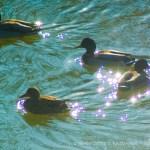 mallard ducks on water