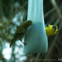 Date Night for the Goldfinches