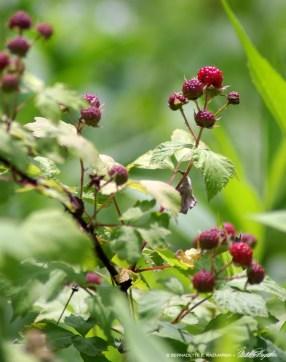 12-RedRaspberries-1000px