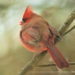 Cardinal Fluff