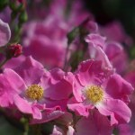 The Pink Pasture Roses