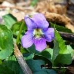 A Sweet Violet