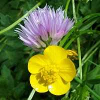 A Buttercup of Chives