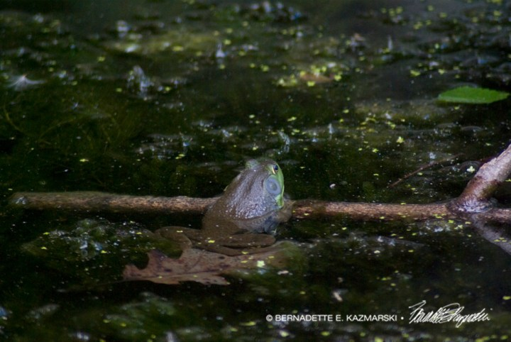 A little frog.