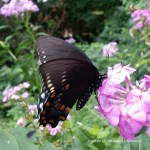 Tiger Swallowtail on Phlox