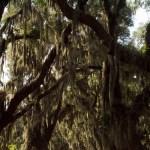 Live Oaks and Spanish Moss
