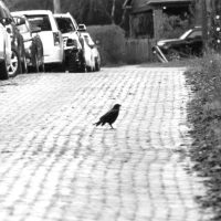 Wordless Wednesday: About the Crow
