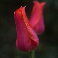 Scarlet Tulip