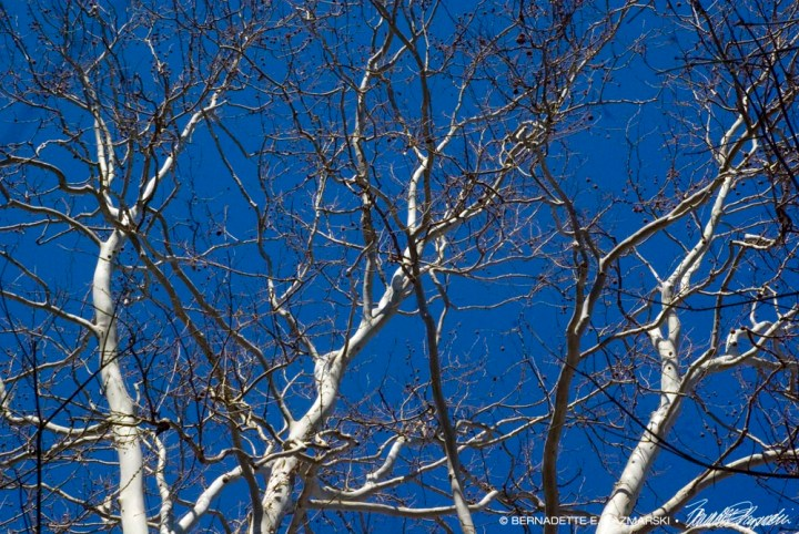 Blue Sky and Dancing Sycamores